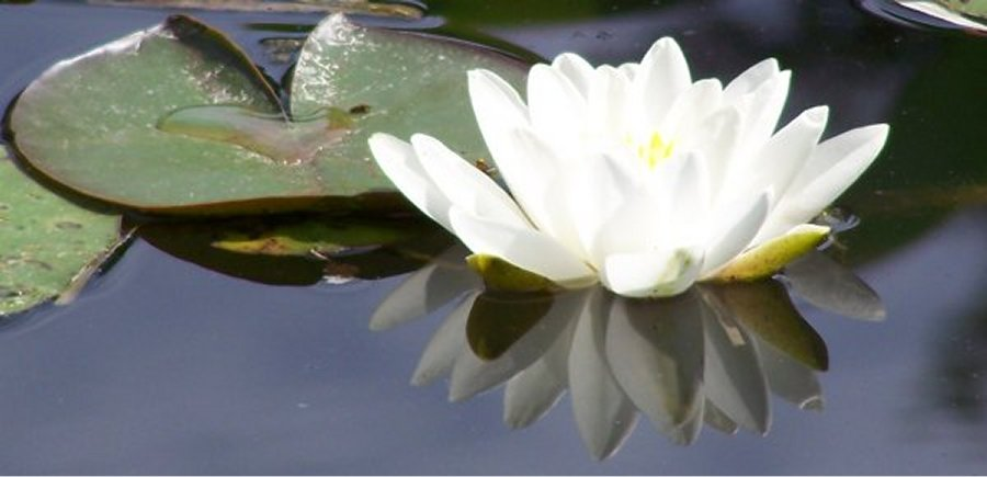 1000+ images about lotus on pinterest  musica, beautiful flowers and